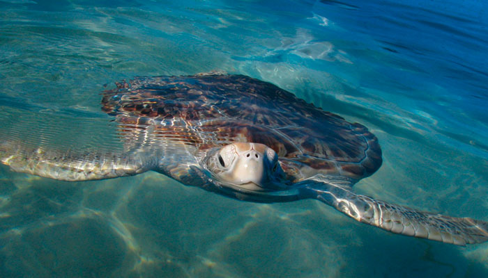 Turtle in Contoy Island