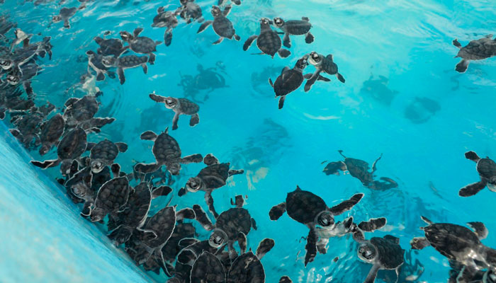 Baby turtles at the turtle farm